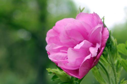 5 rosa rugosa romi 12 juin 2013 008.jpg
