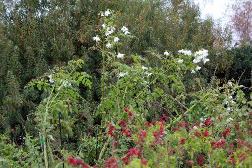 dahlia 2 paris 31 déc 2011 013.jpg
