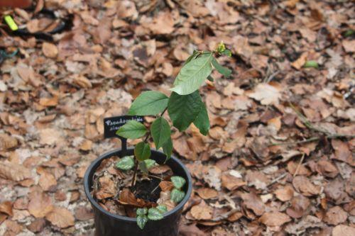 12 pseudocydonia veneux 28 fév 2013 015.jpg