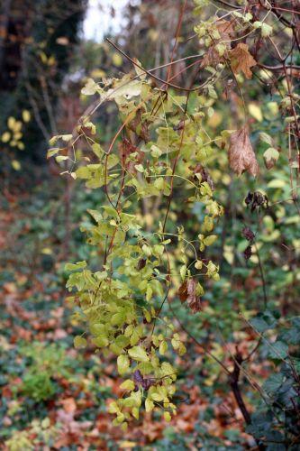 clematis feuilles 21 nov 008.jpg