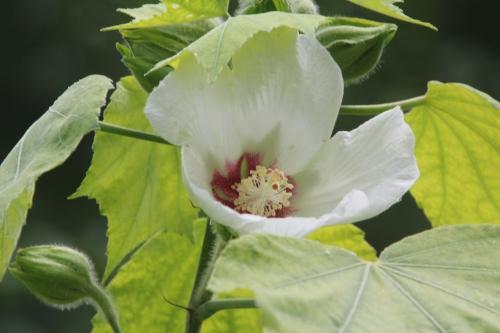 hibiscus parmutabilis romi 13 juil 2015 038 (2).jpg