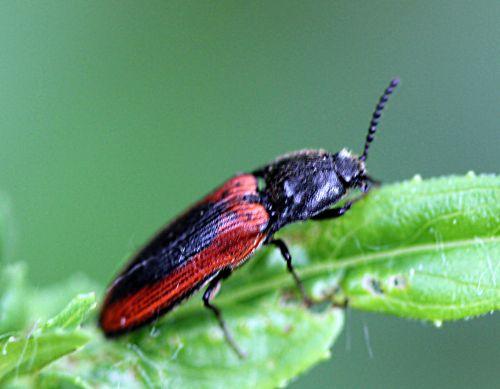 5 ampedus sanguinolentus romi 30 mai 2012 093 p (1).jpg