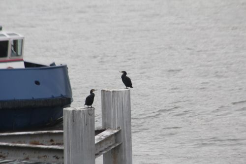 7 cormoran paris 10 nov 2012 021.jpg