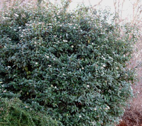 viburnum tinus 9 janv 045.jpg
