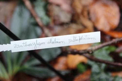 zantho subtrifoliatum  veneux 23 janv 2016 032 (3).jpg