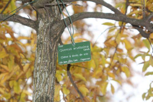 5 quercus acutissima paris 10 nov 2012 056.jpg