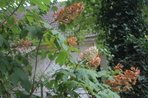 quercifolia snow queen veneux 18 août 2015 001 (2).jpg