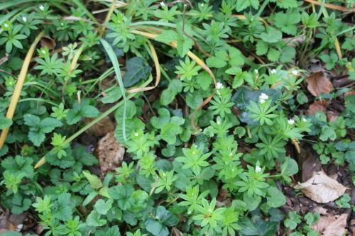 1 aspérule odorante veneux 25 avril 2015 036 (1).jpg