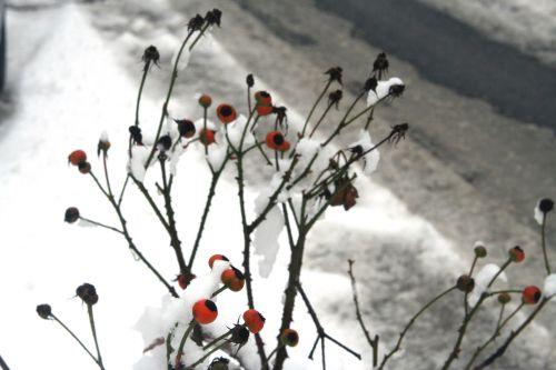 rose neige 20 déc 2010 043.jpg