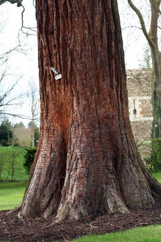 sequoiadendron giganteum Harcourt 19 avril 008.jpg