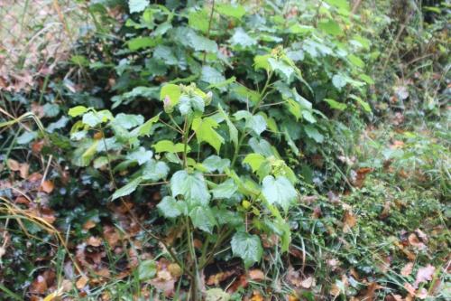 3 hibiscus mutabilis veneux 7 nov 2016 001 (5).jpg