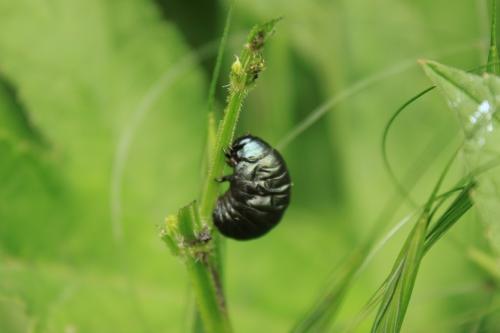 2 chrysomèle noire  (4).jpg
