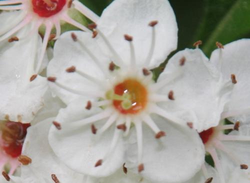 5 crataegus pedicellata romi fl 29 mai 2015 041 (4).jpg