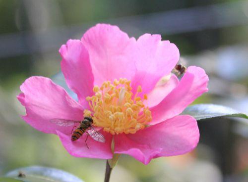 camellia sasanqua 19 octobre 2014 007.jpg