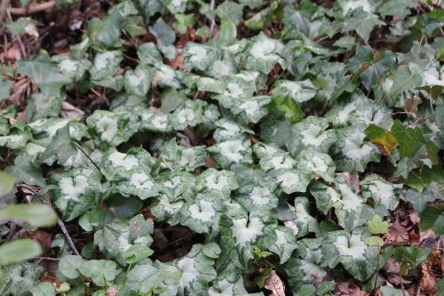 cyclamen hederifolium veneux 5 avril 2015 021.jpg