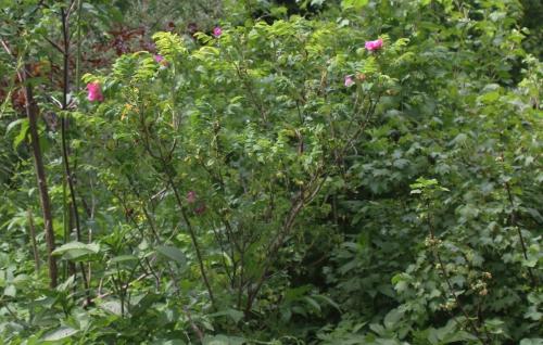 6 rosa rugosa romi 29 mai 2015 079.jpg
