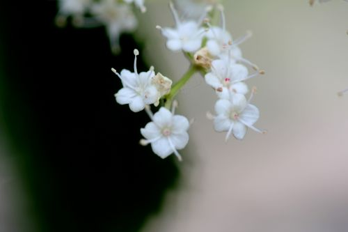 5 viburnum betulifolium paris 23 juin 2012 376.jpg