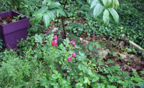 7 rosier veneux 16 juin 2016 028.jpg