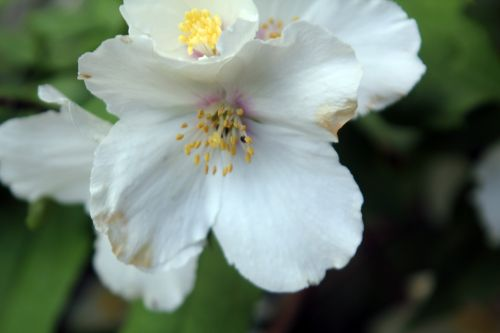 4 philadelphus veneux 7 juin 2012 009.jpg