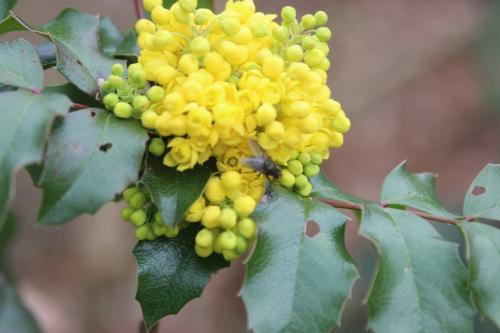 15 mahonia aquifolium IMG_2825.jpg