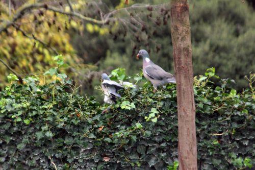 pigeon paris 4 déc 2011 086.jpg