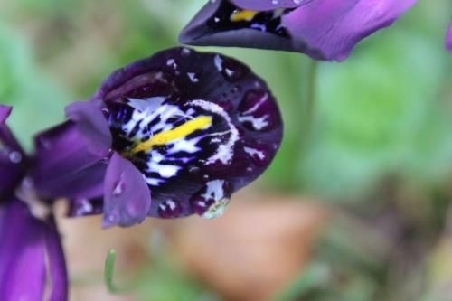 5 iris veneux 7 fev 2016 007 (3).jpg