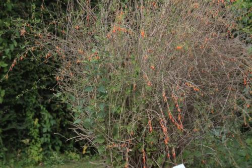10 lycium chinense marnay 11 sept 2016 036.jpg