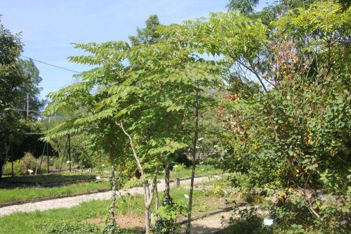 1 aralia spinosa romilly 22 juil 2012 044 (2).jpg