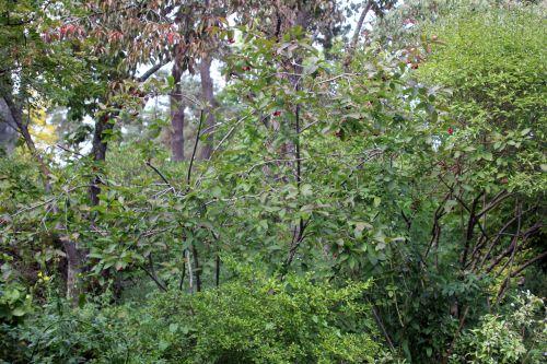 1 euonymus latifolius gb 16 sept 2012 073.jpg