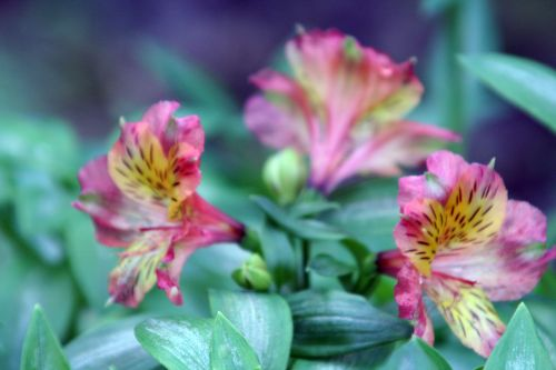 alstroemeria paris 25 dec 110.jpg