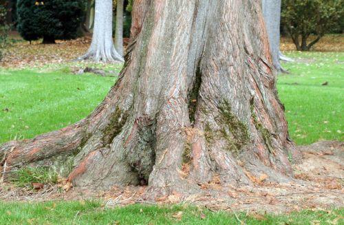 Metasequoia glyptostroboides écorce 3 nov 035.jpg