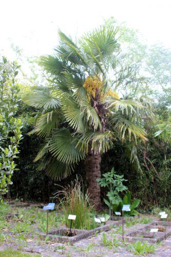 6 trachycarpus fortunei marnay 8 mai 2014 019 (1).jpg