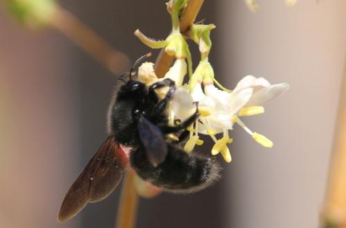 y xylocopa violacea veneux 8 mars 2015 057 (6).jpg