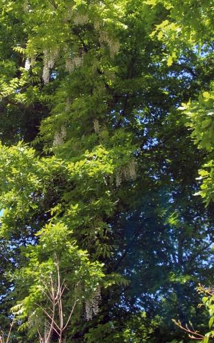2 wisteria veneux 24 mai 2013 rec 004.jpg