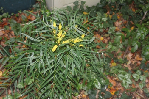 1 mahonia soft caress veneux 4 oct 2017 013.jpg