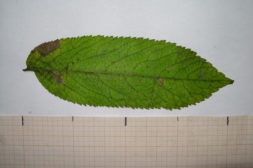 chinensis feuille 30 oct 009.jpg