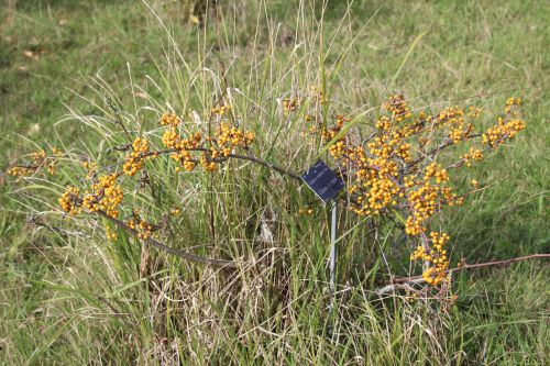 7 celastrus strigilosus barres 12 oct 2013 060.jpg
