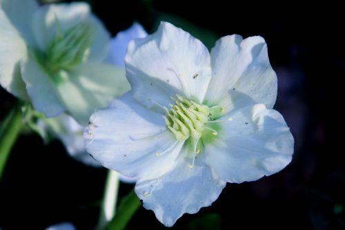 helleborus niger veneux 23 mars 018.jpg