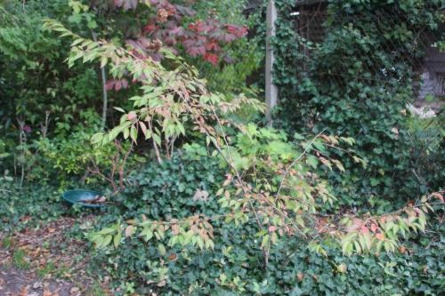 prunus subhirtella veneux 19 oct 2015 008.jpg