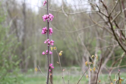3 cercis chinensis  romi 13 avril 2012 042.jpg