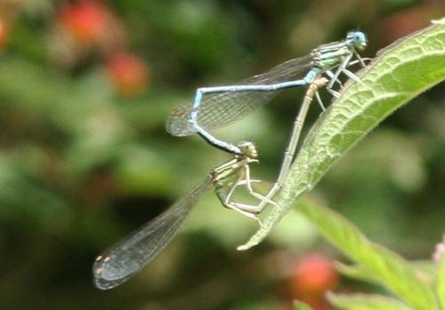 amours de libellules près 7 juillet 049.jpg