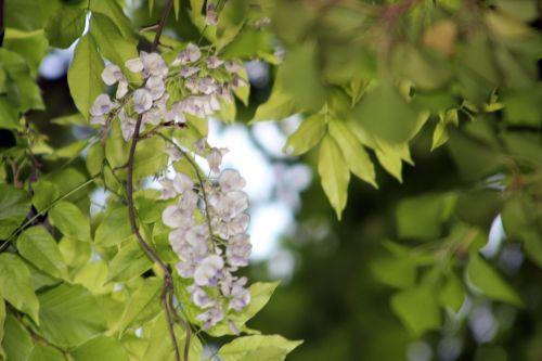 7 wisteria veneux 26 mai 2013 008.jpg