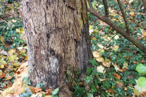 3 fraxinus malade veneux 7 nov 2016 006 (4).jpg
