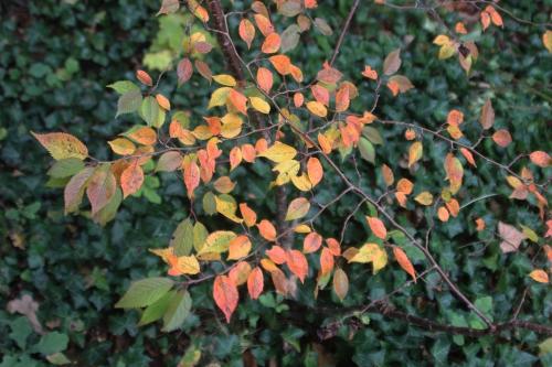 12 prunus autumnalis veneux 17 oct 2016 002 (3).jpg