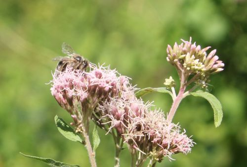 eupatoire abeille romilly 22 août 2012 027.jpg