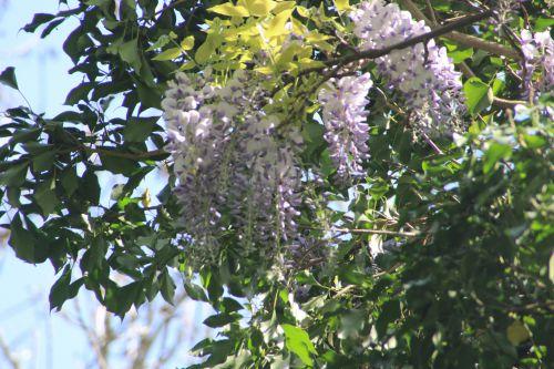 wisteria romi 20 avril 2014 013 (1).jpg