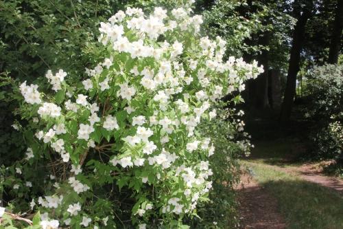 4 philadelphus x lemoinei  veneux 31 mai 2017 036 (4).jpg