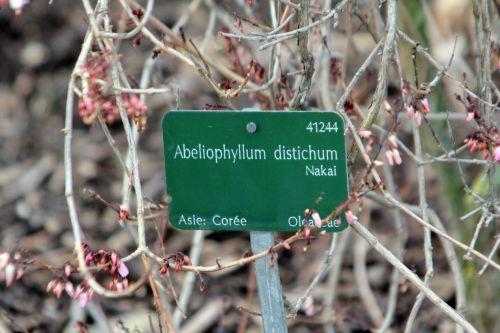 4 abeliophyllum paris 2 fév 2013 044.jpg