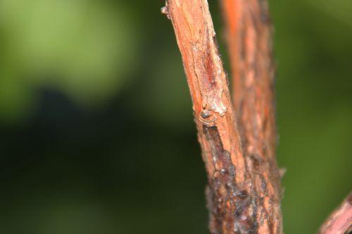 8 arbutus andrachnoides 18 sept 2014 001 (9).jpg