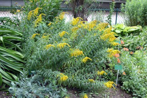 solidago virgaurea paris 2 juil 2011 191.jpg